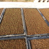 稲のプール育苗