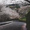 西条市の桜