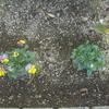 ビオラの花を食べる犯人はだれ