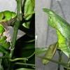 眼科通院&クロアゲハの幼虫が蛹に