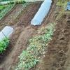 10月の菜園!紅あずまの収穫と保存!