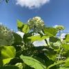 雨だけじゃなく、晴れも似合うあじさい / 販促プランナー白鳥さんの謎シーン #ストロボライトなう