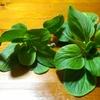 ミニ青梗菜の収穫その3