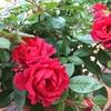 赤いミニバラが元気に開花!バラ専用 置肥の効果かも!?