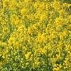 黄色いお花 実は一番多い⁉︎