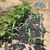 【菜園】果菜類の整枝作業、誘引、トウモロコシに追肥