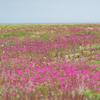 初夏の浜辺はピンクの花園