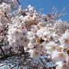 天気がよかったので、登米市のほうへ桜を見に行ってきました