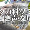 ツミの鳴き声【野鳥図鑑・鳴き声図鑑】Accipiter gularis Sparrowhawk