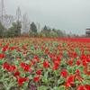 世の中は桜のお花見、私はこの日なぜか、スイセン〜庄原備北丘陵公園その②〜