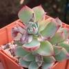 今朝の多肉植物。成長点のなくなったチワワエンシスとオーロラの葉挿しのその後です。
