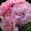 我が家の庭にバラと紫陽花が咲きました!