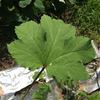 オクラ苗の肥料不足は葉で分かる!肥料不足と肥料十分なオクラの葉の違い!