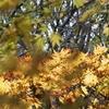 黄葉した葉に陽があたると…
