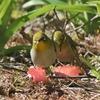 リンゴに集う鳥ズ