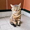 【保護活動】ボス猫、寅さんがやってきた ~喧嘩は強いが、弱い猫には手を出さない~