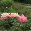 夏の薔薇と藤