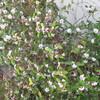 ミモザアカシアと沈丁花が満開