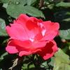 2015/05/05 咲いていたバラなど