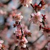 弘道館の梅も撮ってきた