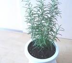 ローズマリーの育て方・植え付け・鉢替え時期!風水に効果的な置き場所と収穫時期