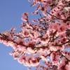 2009年、今年の東京の桜。(まとめ)