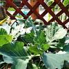 【挑戦】家庭菜園 キャベツの水耕栽培 2019 葉っぱ一枚だけ収穫してもいい?