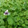 新宿御苑で見た植物⑲ ツタスミレ