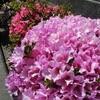 団地の20棟裏・外周散歩と栗の花