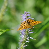 豹紋蝶など