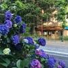 駒沢通りに咲く紫陽花