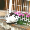 谷中で猫に出会える方法 シロクロさん