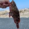 【ヒトリゴト】週末の釣りとカサゴの和風カルパッチョ
