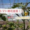 トマト【ステラトマト】開花宣言!~播種から開花、開花から収穫までの日数はどれくらい?~ベジヲタ畑 Day40