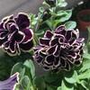 【おまけ】黒ペチュニアがどんどん開花🌸