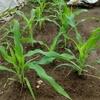 第二弾のトウモロコシの成長がスゴくて驚いた