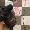 甲斐犬サンの首輪と引き綱の巻〜コレシカ知ランノヨΣ(-᷅_-᷄๑)