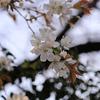チェーホフの「桜の園」にでてくる桜はいったいどこで咲いているのか。