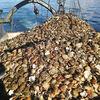 北クリル・温禰古丹島沖のホタテ漁 2021年の許容漁獲量は1万500トン