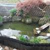 庭池の掃除