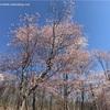 遅ればせながら道北の桜を見る
