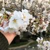 桜、お花、花!