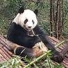 中国成都にパンダを見に行こう♪