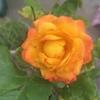 バラ開花の季節(と夜のお仕事、所感