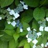 雨色アジサイと緑の芽