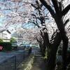 源平川の桜