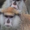 【Patas Monkey】