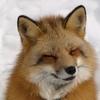 北海道全域に生息する「キタキツネ」について勉強してみよう