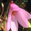 バンウコン、ハプランサス、胡蝶蘭、デンファレ、サンゴアブラギリ、ハナキリンの開花