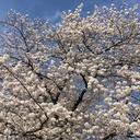 桜サバイブ-乳がんで顔が変わった!